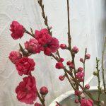 春を頂きました〜花桃〜
