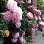 薔薇が満開です!