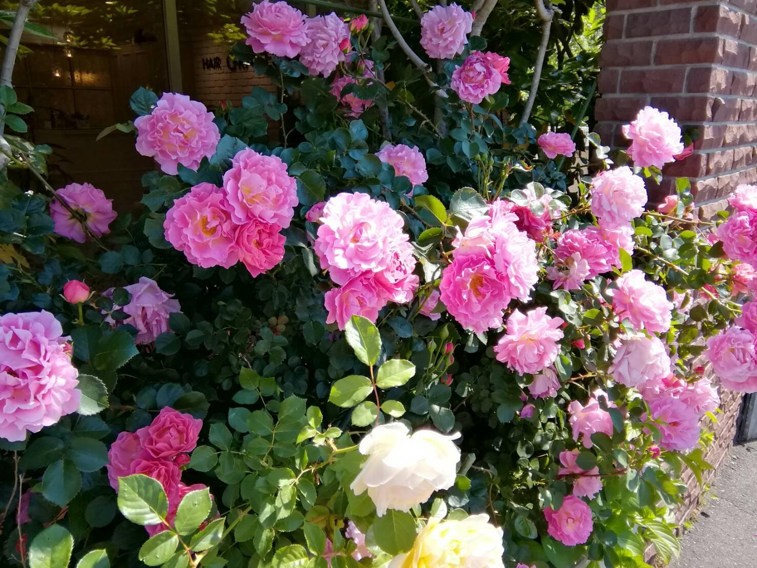 薔薇が満開です❗